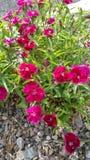 Flores vermelhas Imagens de Stock Royalty Free