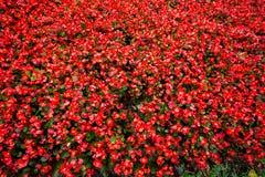 Flores vermelhas Foto de Stock