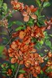 Flores vermelhas Imagem de Stock