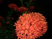 Flores vermelhas Foto de Stock Royalty Free