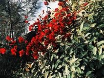 Flores vermelhas imagens de stock
