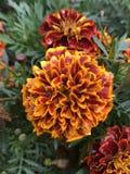 Flores vermelhas, alaranjadas, amarelas Folha verde Imagens de Stock Royalty Free
