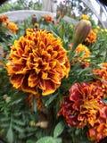 Flores vermelhas, alaranjadas, amarelas Folha verde Fotografia de Stock Royalty Free