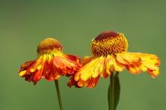 Flores vermelhas/amarelas Imagens de Stock Royalty Free