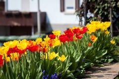 Flores vermelhas amarelas coloridas bonitas das tulipas Foto de Stock Royalty Free
