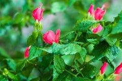 Flores vermelhas ap?s a chuva imagem de stock