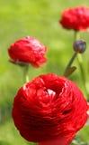 Flores vermelhas bonitas fotografia de stock royalty free