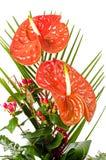 Flores vermelhas bonitas do anturio Imagem de Stock
