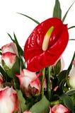 Flores vermelhas bonitas do anturio Fotos de Stock Royalty Free