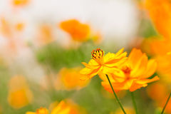 Flores vermelhas bonitas do cosmos Fotografia de Stock