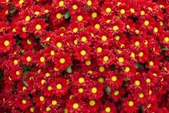 Flores vermelhas bonitas do crisântemo foto de stock royalty free