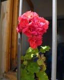 Flores vermelhas bonitas do gerânio na janela Close-up imagens de stock royalty free