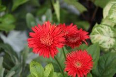 Flores vermelhas bonitas no jardim imagens de stock