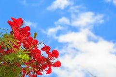 Flores vermelhas bonitas que florescem no céu azul Imagem de Stock Royalty Free