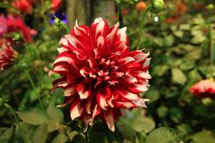 Flores vermelhas brilhantes no jardim Imagens de Stock