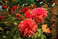 Flores vermelhas brilhantes no jardim Fotos de Stock Royalty Free