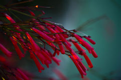 Flores vermelhas brilhantes no jardim imagem de stock