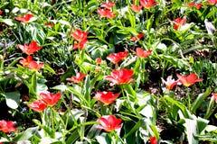 Flores vermelhas brno foto de stock