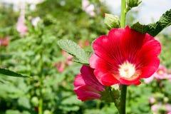 Flores vermelhas com as folhas verdes no jardim na manhã foto de stock