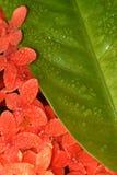 Flores vermelhas com a folha verde com gotas de orvalho nela para o fundo e o papel de parede do telefone celular imagens de stock royalty free