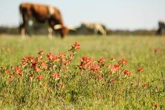 Flores vermelhas com um longhorn no fundo Fotos de Stock Royalty Free