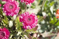 Flores vermelhas cor-de-rosa brilhantes em plantas verdes Fotos de Stock Royalty Free