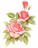 Flores vermelhas cor-de-rosa das rosas do vintage isoladas no fundo branco Ilustração colorida da aquarela do lápis Imagens de Stock