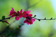 Flores vermelhas cor-de-rosa em um arbusto Fotografia de Stock Royalty Free
