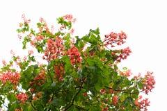 Flores vermelhas da árvore de castanha fotos de stock royalty free