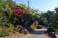 Flores vermelhas da buganvília perto da estrada imagem de stock