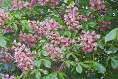 Flores vermelhas da castanha-da-índia Fotos de Stock Royalty Free