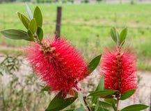 Flores vermelhas da escova de garrafa no arbusto de Callistemon foto de stock