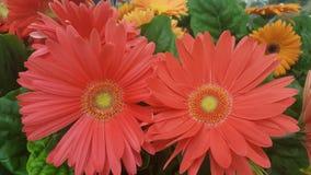 Flores vermelhas da margarida Imagem de Stock