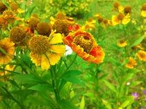 Flores vermelhas da margarida Fotos de Stock