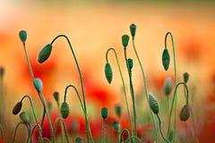 Flores vermelhas da papoila do milho imagens de stock