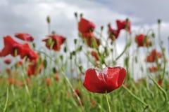 Flores vermelhas da papoila do milho imagem de stock