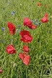 Flores vermelhas da papoila do milho foto de stock