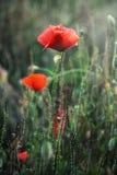 Flores vermelhas da papoila do milho Fotos de Stock
