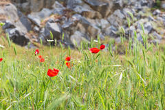 Flores vermelhas da papoila e parede de pedra, símbolo para o dia da relembrança Fotografia de Stock Royalty Free