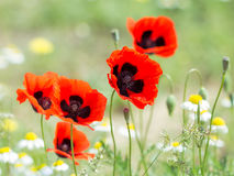 Flores vermelhas da papoila no campo Imagem de Stock Royalty Free