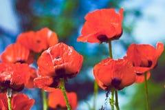 Flores vermelhas da papoila no jardim Fotos de Stock Royalty Free