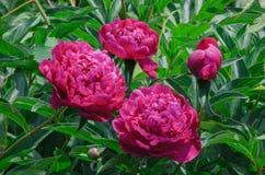 Flores vermelhas da peônia, na perspectiva dos tiros verdes Foto de Stock Royalty Free