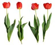 Flores vermelhas da tulipa Fotografia de Stock Royalty Free