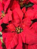 Flores vermelhas das poinsétias fotos de stock royalty free