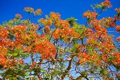 Flores vermelhas de encontro ao céu azul Imagem de Stock Royalty Free