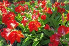 Flores vermelhas de Hippeastrum Fotos de Stock Royalty Free