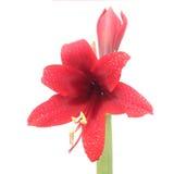 Flores vermelhas de Hippeastrum isoladas no branco imagem de stock royalty free