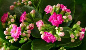 Flores vermelhas de Kalanchoe Fotos de Stock Royalty Free