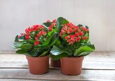 Flores vermelhas de Kalanchoe em um fundo de madeira Fotos de Stock Royalty Free