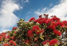 Flores vermelhas de Pohutukawa com espaço da cópia Imagens de Stock Royalty Free